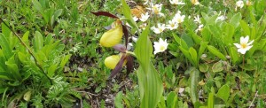 Frauenschuh Lady Slipper